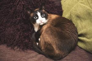Darwen Lancashire - A snowshoe cat curled up on a sofa