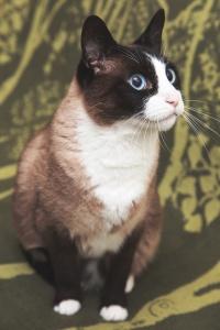Darwen Lancashire - Portrait of a snowshoe cat
