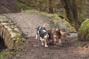 Sunnyhurst Woods Darwen - Two spaniels running over a bridge