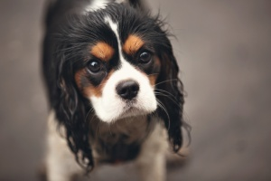 Sunnyhurst Woods Darwen - Close up portrait of a Cavalier King Charles Spaniel