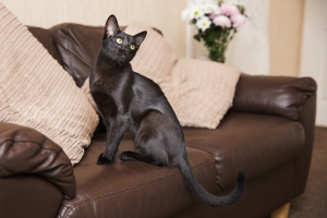 Hoddlesden, Lancashire - A black siamese cross cat sits on a sofa looking over her shoulder