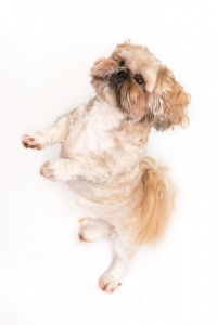 Hoddlesden, Lancashire - a dog stands on his hind legs against a white background