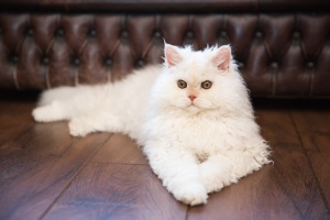 Darwen, Lancashire - Natural portrait of a white Selkirk Rex kitten laying on a wooden floor