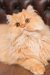 Darwen, Lancashire - Close up photo of a ginger Selkirk Rex kitten