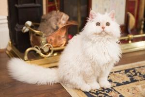 Darwen, Lancashire - A white Selkirk Rex kitten sitting upright in front of a fireplace