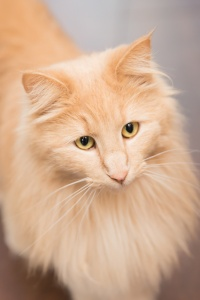 Darwen, Lancashire - Close up portrait of a ginger Norwiegan Forest cat