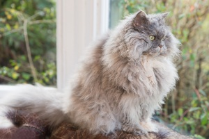 Darwen, Lancashire - Relaxed image of a grey Selkirk Rex sitting on the top edge of a sofa looking out the window