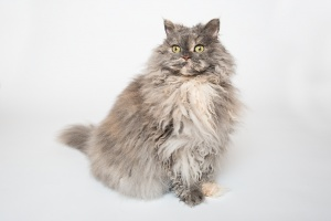 Darwen, Lancashire - A grey Selkirk Rex sits upright against a white background