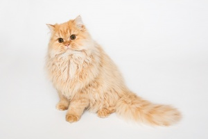 Darwen, Lancashire - A ginger Selkirk Rex kitten sits with his head tilted against a white background