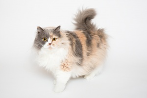 Darwen, Lancashire - A tri-coloured Selkirk Rex stands looks forward with her tail in curled in the air against a white background
