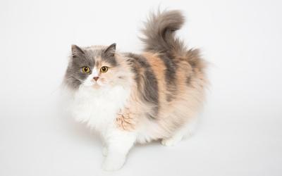 Pet Photography – Show Cats