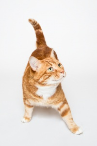 Darwen, Lancashire - A ginger tom cat puts a foot forward looking to the side against a white background