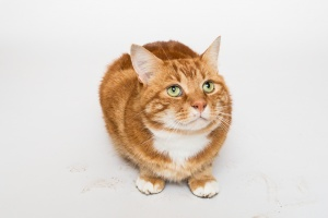 Darwen, Lancashire - A ginger tom cat sits looking innocent surrounded by muddy footprints against a white background