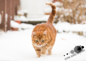 Darwen, Lancashire - A ginger cat walking towards the camera