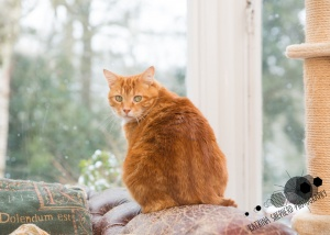 Darwen, Lancashire - A ginger cat sits near a window looking back at the camera while snow falls outside