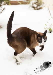 Darwen, Lancashire - A snowshoe cat gingerly lifts a paw and holds his tail in the air in the snow