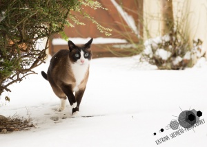 Darwen, Lancashire - A snowshoe cat shelters under a bush in the snow looking bemused