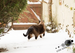 Darwen, Lancashire - A snowshoe cat facing away from the camera explores his yard in the snow