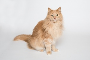 Darwen, Lancashire - A ginger Norweigan Forest cat sits looking towards the camera against a white background