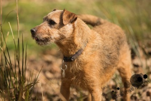 White Coppice, Chorley - Portrait of a dog side on to the camera amongst some long grass